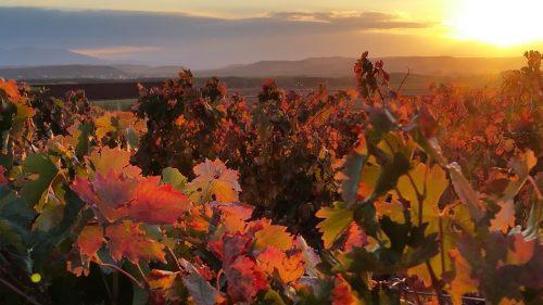 autumn wineyard