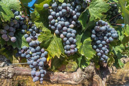 Cabernet Grapes at Haut Brion